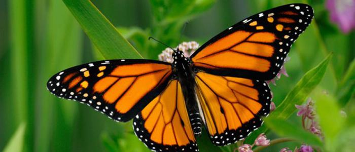 working to save the monarch butterfly village of oak park
